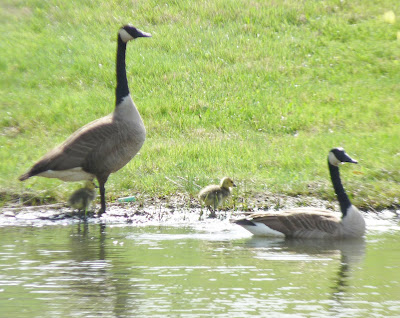 goose in water, gander and goslings on bank