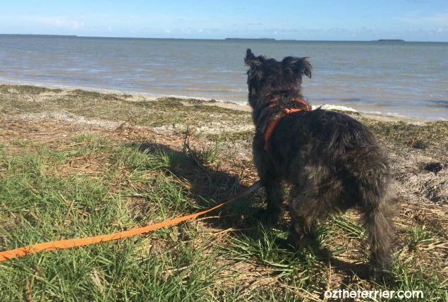Oz the Terrier goes on a proper adventure with proper nutrition