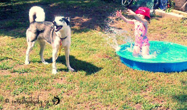 Siberian husky playing in water