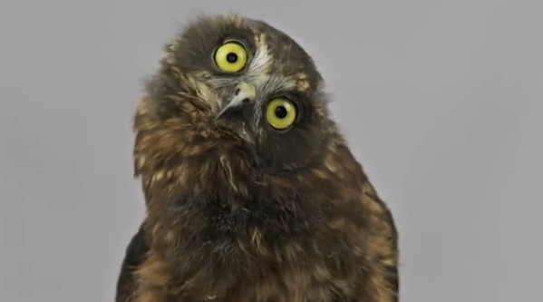 Rehabilitated Baby Owl Shows Off His Dancing Skills In Adorable Video