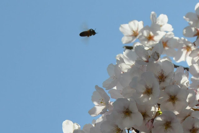 White Cherry Blossoms with bee