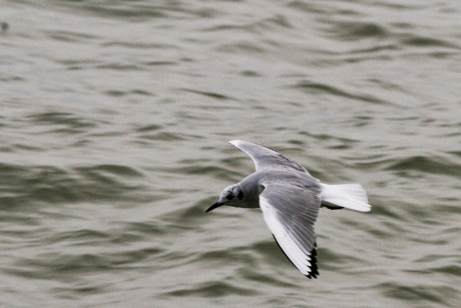 Bonaparte's Gull, Quintana Jetty, Texas
