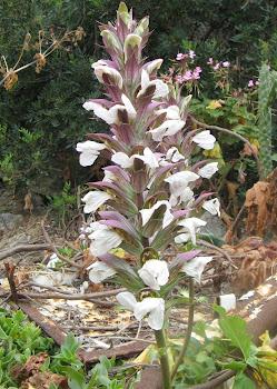 Acanthus mollis (Acanto)