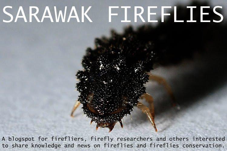 SARAWAK FIREFLIES