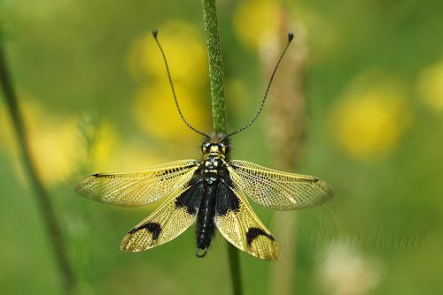 Libelloides longicornis