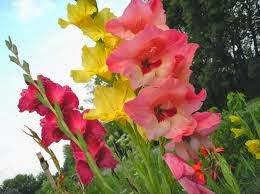 Gladiol flower