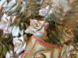 crassula perforata en flor