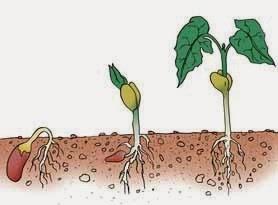 Perbedaan Pertumbuhan dan Perkembangan pada Tanaman