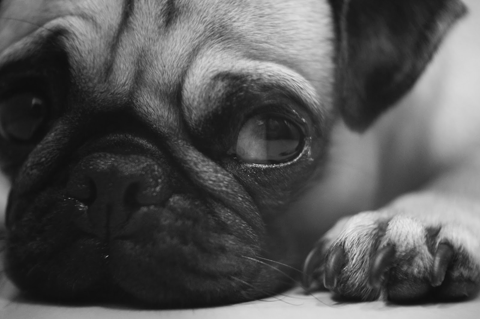 Black pug puppy looking miserable - ways to cope with feeling down - motherdistracted.co.uk