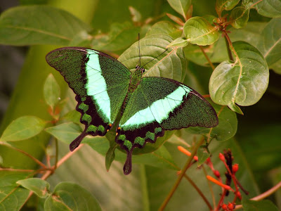 http://3.bp.blogspot.com/-x_sMzR--w98/Tlv3FO2G30I/AAAAAAAAAgA/BccZR4wufK8/s400/emerald_butterfly_1024x768.jpg
