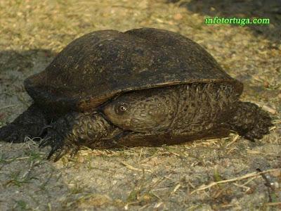 Acanthochelys spixii - Galápago canaleta