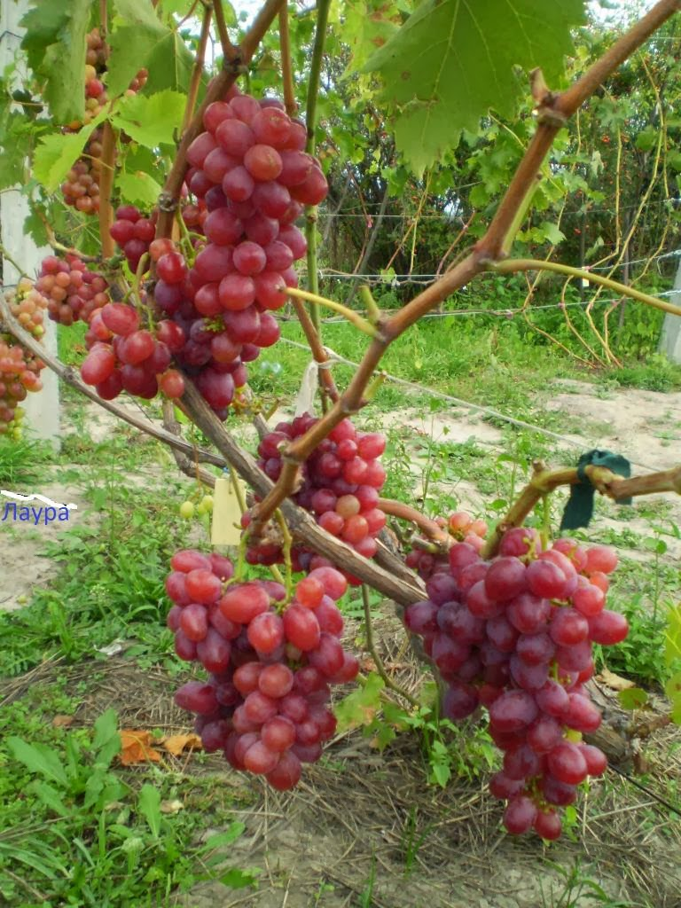 Виноград лора  описание