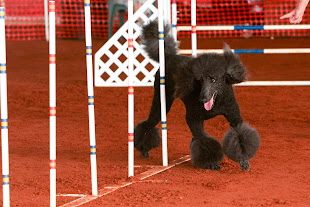 Evan Weaving at the November 2011 AKC Agility Trail Jumps and Weaves