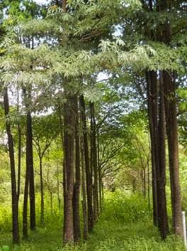 Jual pohon Pulai,pule (Alstonia scholaris) | pohon pelindung | pohon peneduh | suplier tanaman | jasa desain taman