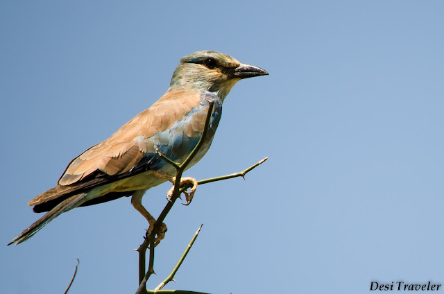 migrant bird on tree top in Tal Chapar Rajasthan