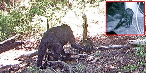 Foto Penampakan Bigfoot Ini BIKIN HEBOH Di Internet