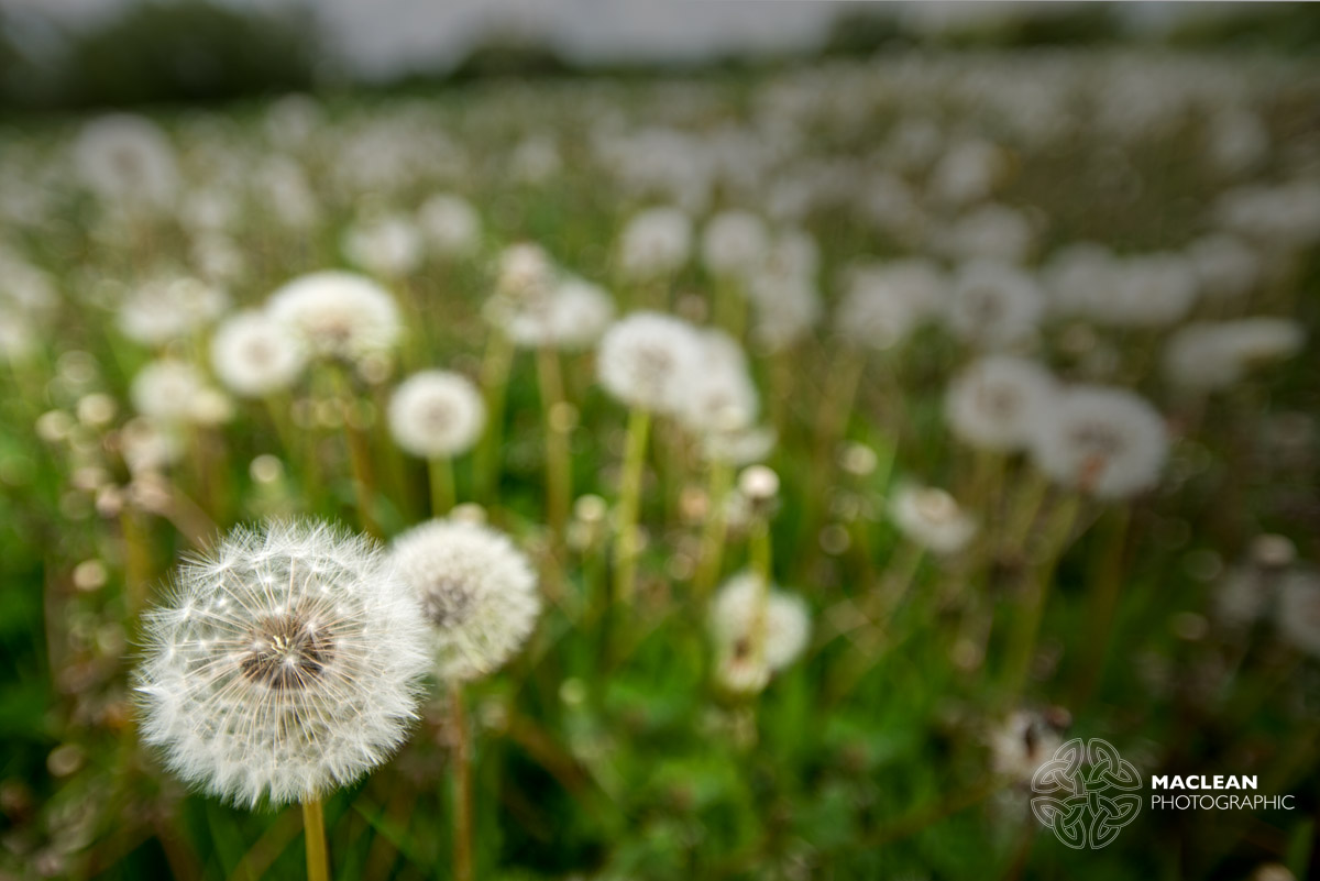 how to get dandelion sap