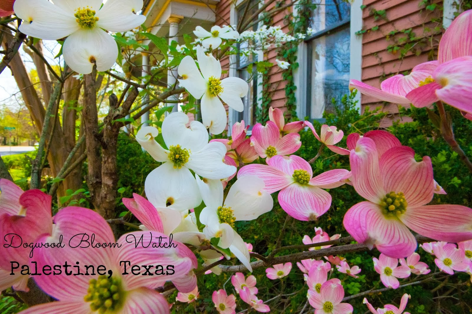 Dogwood Bloom Watch