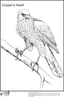 cooper hawk coloring pages