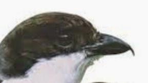 tips memilih burung cendet bakalan yang bagus gembala news