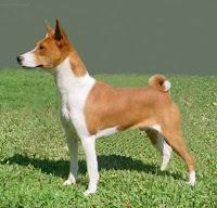 BASENJI : The Congo Dog