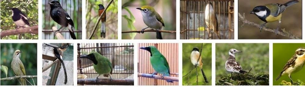 Raja Burung blogspot.com