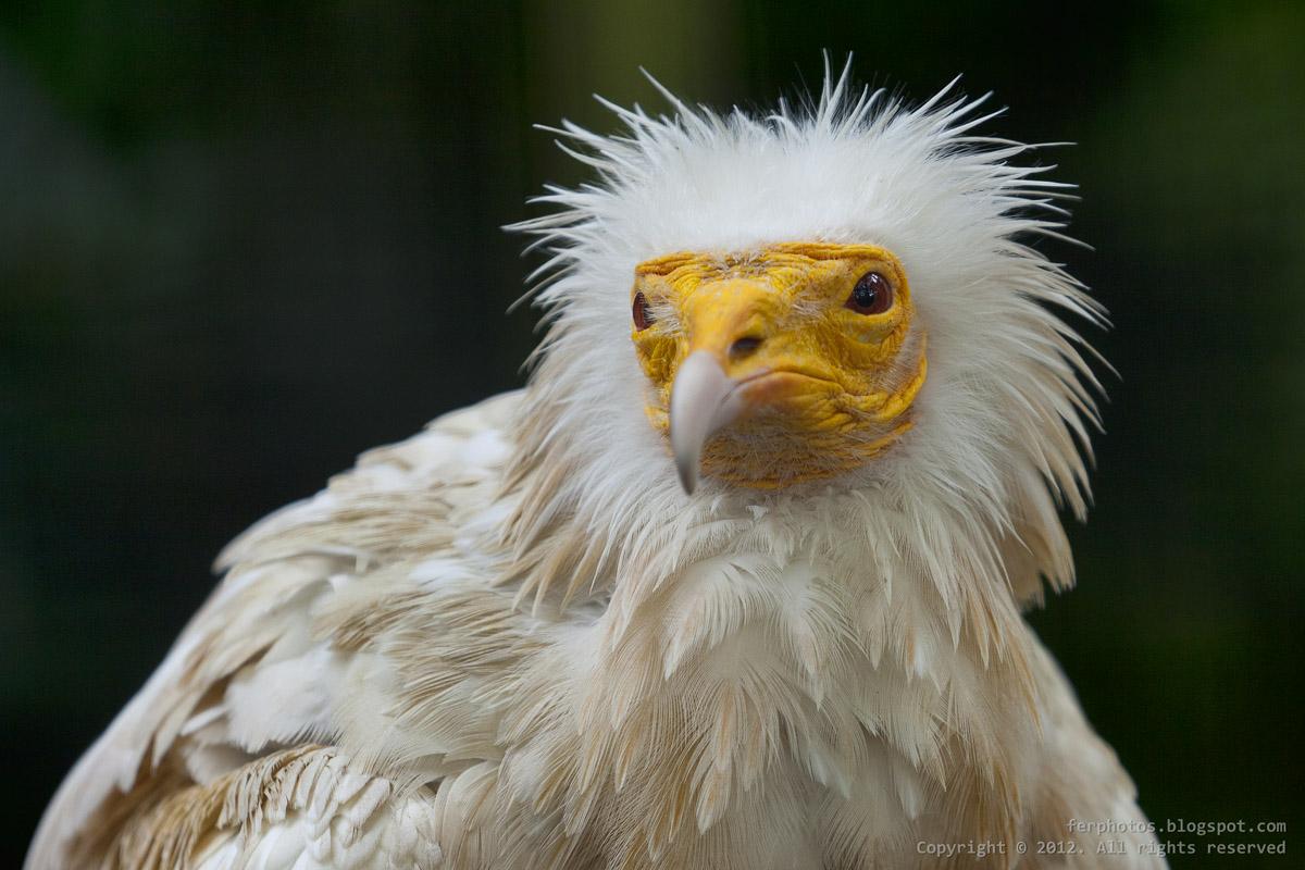 Egyptian vulture White Scavenger Vulture Pharaoh Chicken
