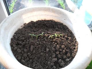 8 февраля, ростки перца - вечер