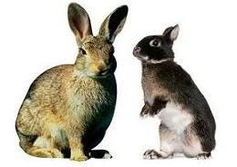 Hare vs jackrabbit - photo#9