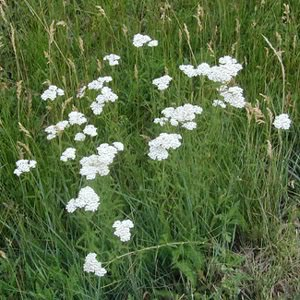 Yarrow – known by most flower gardeners as a pretty weed
