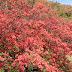 燃える山! 徳仙丈山のツツジが今年もきれいに咲きました(気仙沼市)