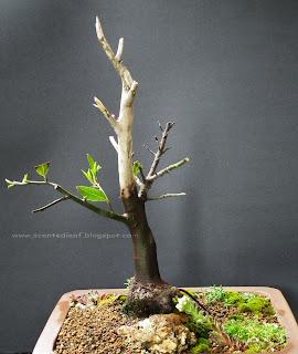 Bay Laurel bonsai (Laurus Nobilis) with jin