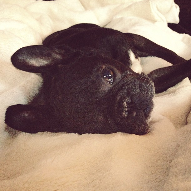 black frenchie