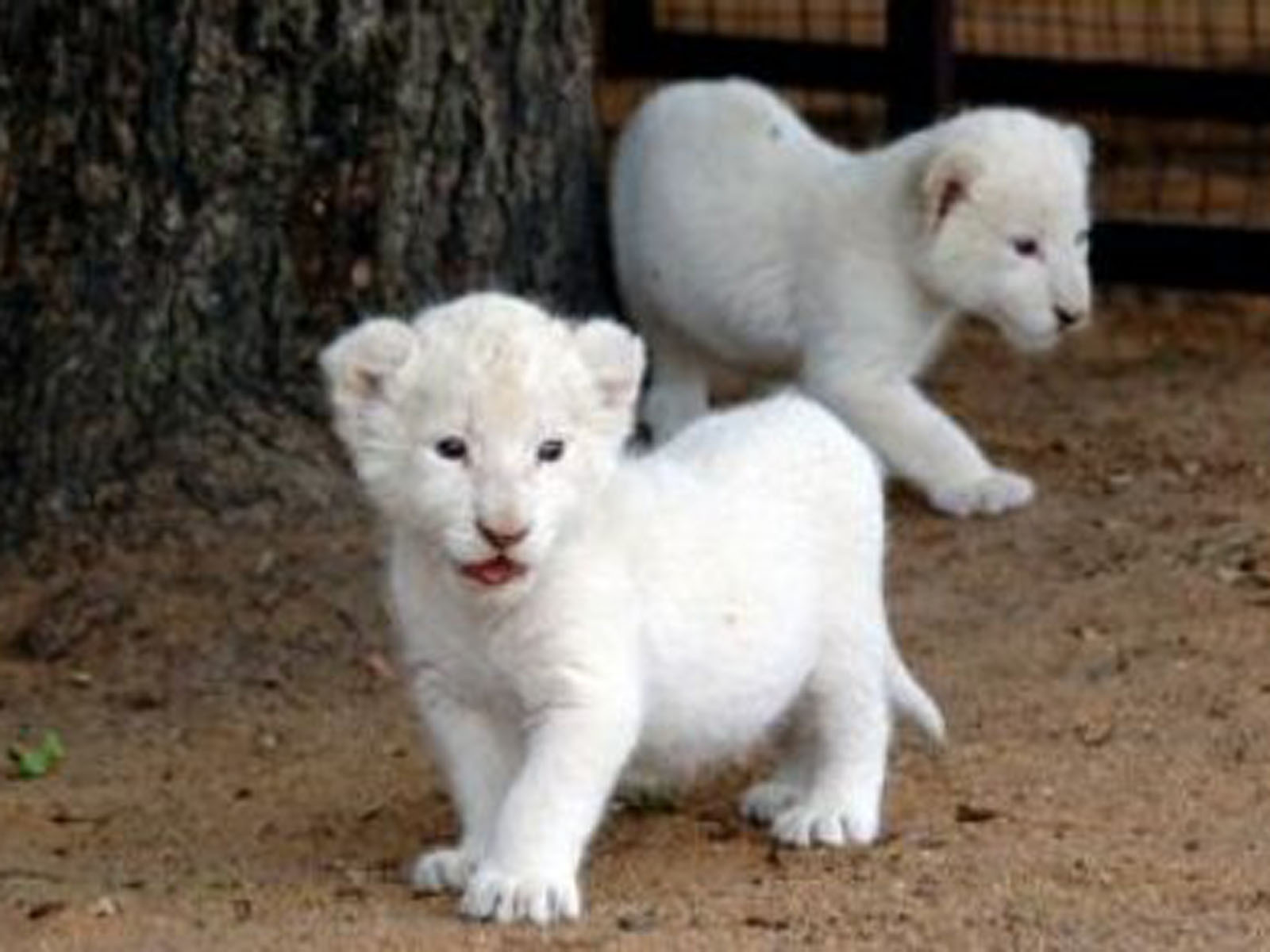 Cute Baby White Tiger With Blue Eyes