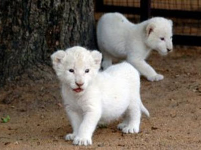 The Beautiful Baby White Lion Picture