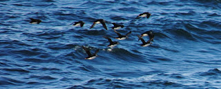 puffins in flight in the icelandic waters