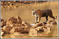 Tadoba National Park Project Tiger Chandrapur District Nagpur Maharashtra
