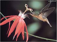 O beija flor