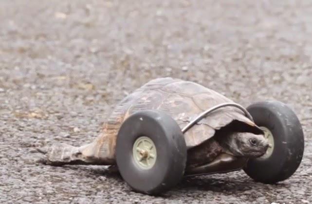 la tortuta mrs. t con ruedas llantas