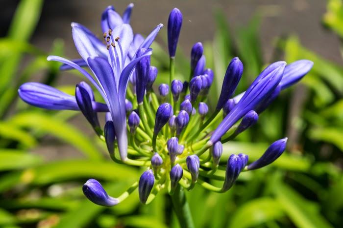 агапантус голубые цветы