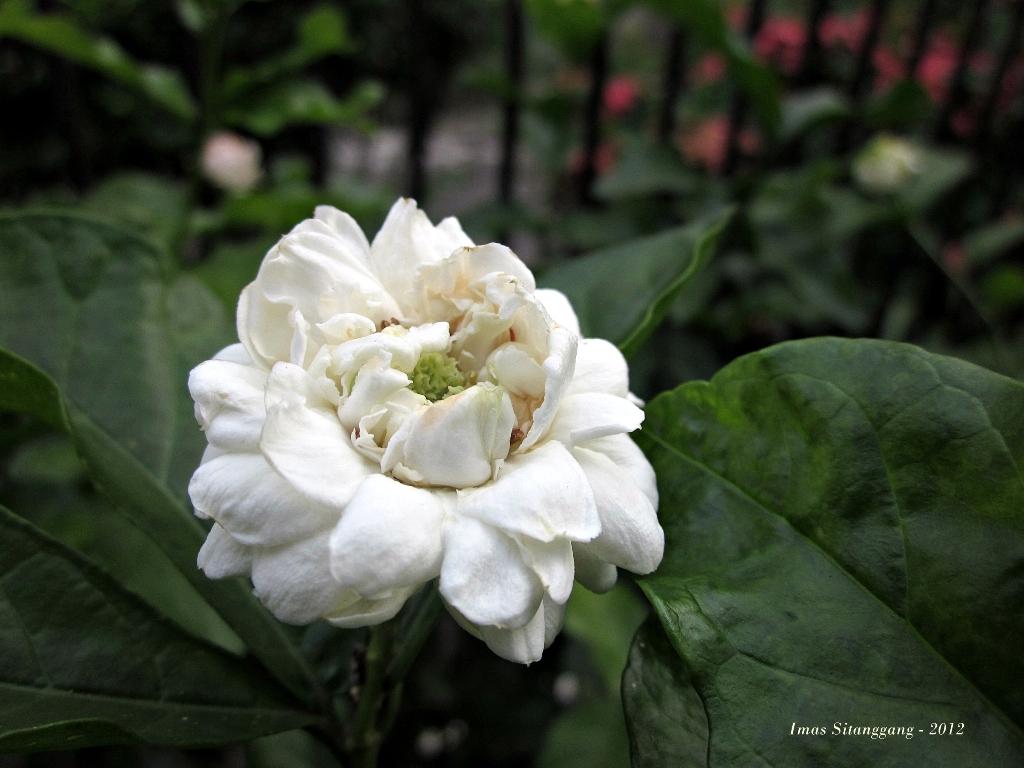 Jasmine at my front yard imas sitanggang by alan michael decara httppoemhunterpoemjasmine flower izmirmasajfo