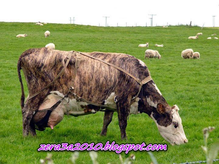 بالصور-سلالة البقر الأيسلندي