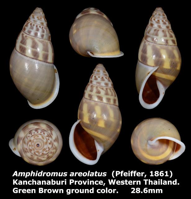 Amphidromus areolatus 28.6mm