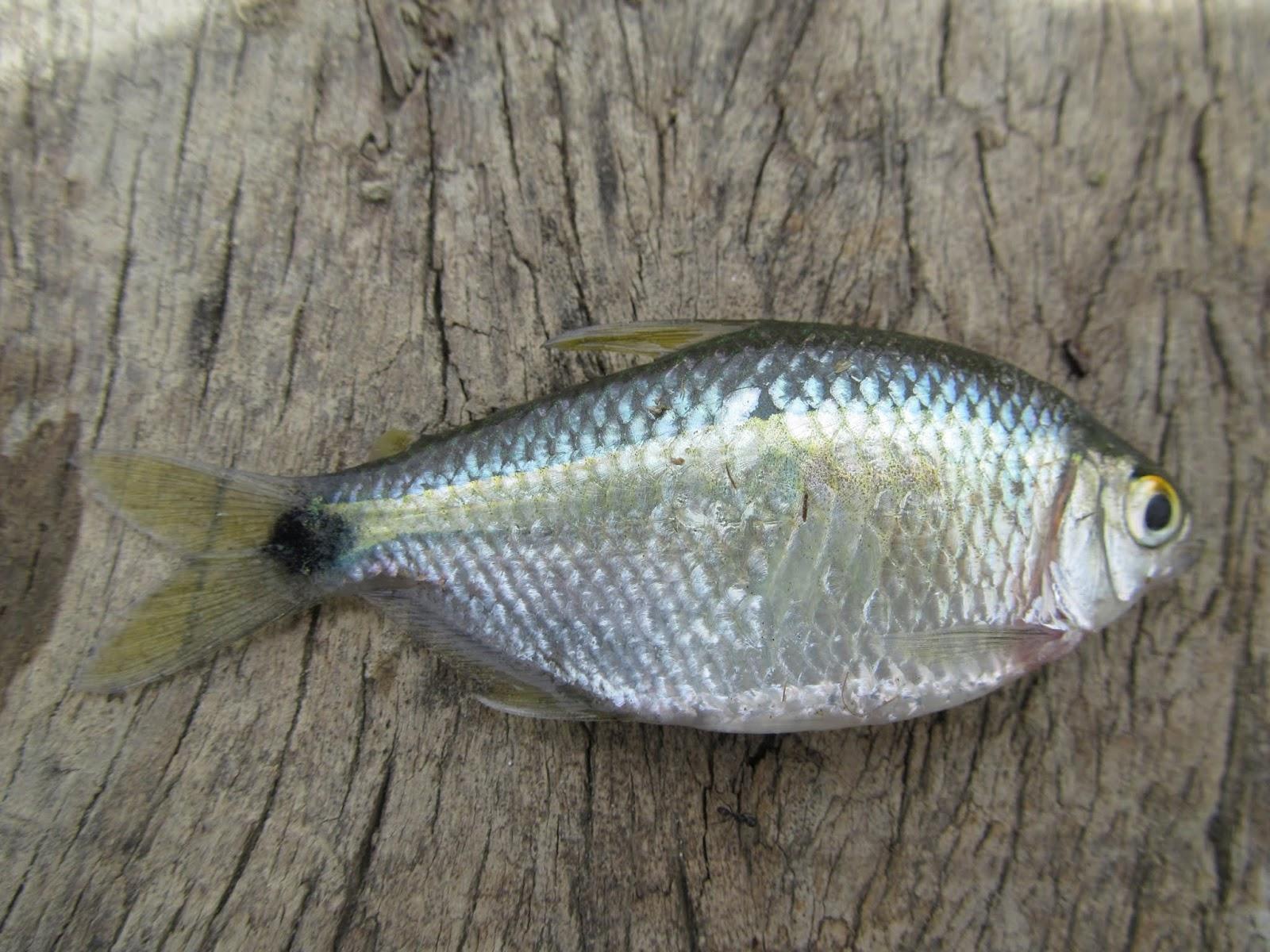 Fauna de colombia wildlife colombia peces for Pez cachama