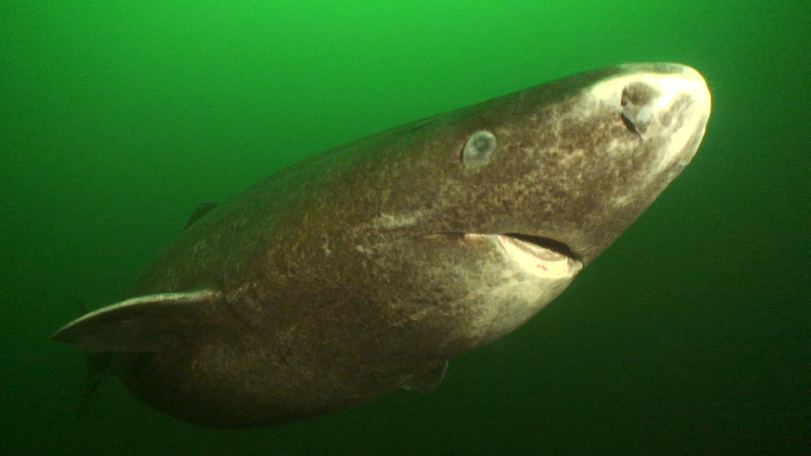 Greenland Shark - Fish...