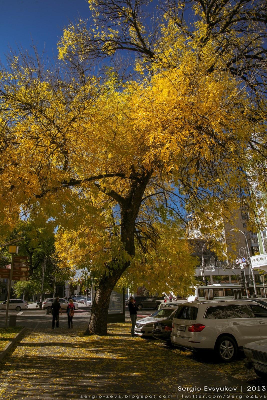 Желтое дерево в Краснодаре