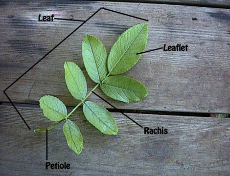 last leaf essay