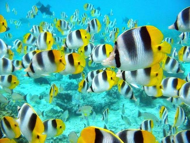 أجمل الأسماك الاستوائية الملونة   - صفحة 2 Colorful-tropical-fishes-01