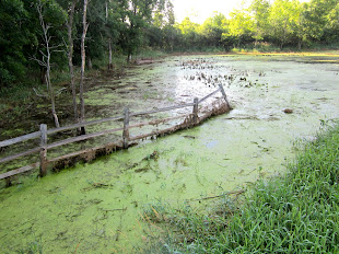Pond Scum Recedes, Pops to Life!
