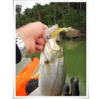 Foto de um robalo iscado por uma isca artificial de camarao laguna one soft baits